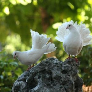 鳩は幸運の印?ハトがベランダに来るのは縁起が良い【吉兆】