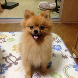(^^)/子犬時代 柴犬カットから少し毛が伸びました