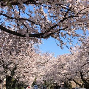 さくら満開の犬山城へ  今年の花見は車窓から