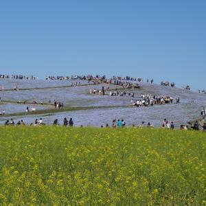 国営ひたち海浜公園  青空とネモフィラ 一面のブルーは絶景です
