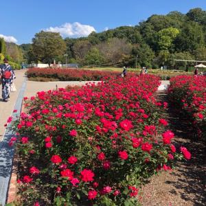『花フェスタ記念公園』秋のローズウィーク 薔薇と麒麟