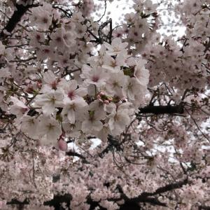さくら サクラ 桜 日本はどこに行っても桜に会える