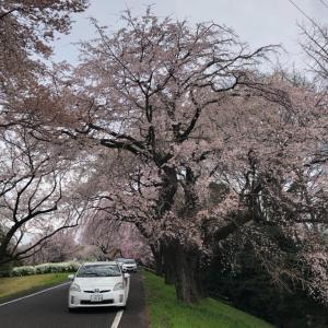ラストランは、満開の桜の下で愛と感謝を込めて
