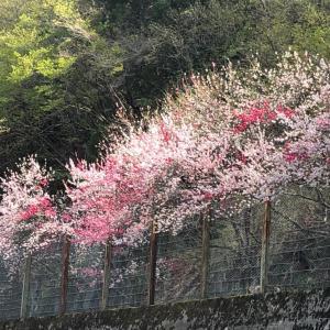 阿智村の花桃は、まるで桃源郷 息を飲む美しさに言葉はいらない