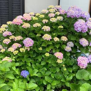 紫陽花3 ヨシコ
