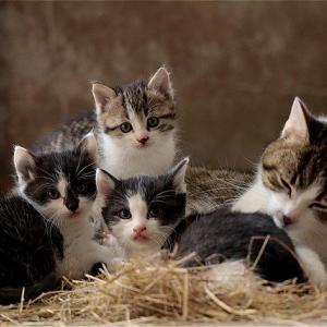 【体験談】里親サイトを利用してグレー白の保護猫の里親になりました。