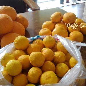 母のいない実家の柑橘類の収穫