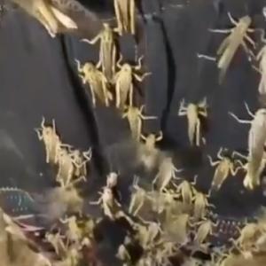 湖南省や広西省桂林など蝗大発生