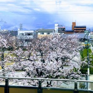 庄内の桜前線なう、8分咲きくらいかな?