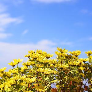 菊の花の咲くころに「菊晴れ」