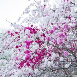 桃の開花は?庄内近辺では・・・
