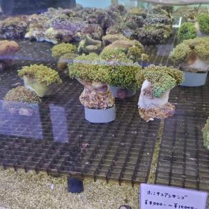 ホンタコアシサンゴ
