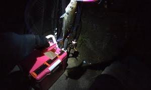拾ったイソメアジングとマゴチング中に現れた珍魚