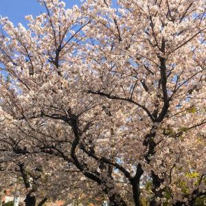 春風の中でお花見JOG 〜 東京マラソン2021への道・その16