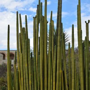 巨大な柱サボテンのある風景!オアハカの植物園