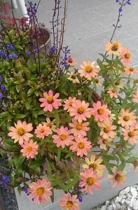 冬の花壇用苗購入