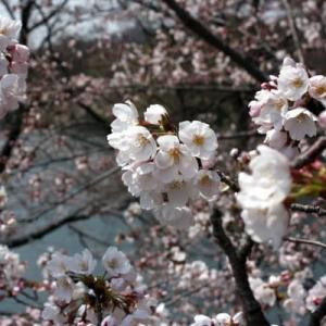 2012 倉敷酒津公園の桜