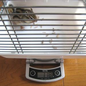 体重測定 5月31日