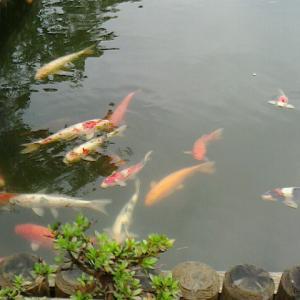 高田城の蓮祭り 日報の写真見て雨の中