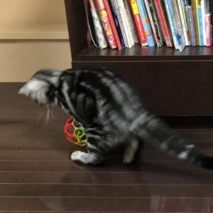 タマ、ボールでひとり遊び