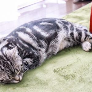 眠るタマをモフる