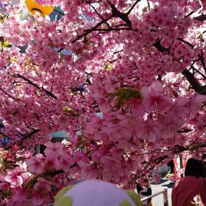 三浦海岸桜まつりと新たな国道歩きスタート
