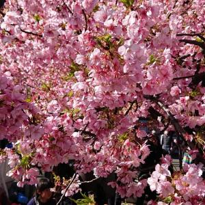 「国道134号てくてく歩き旅」堀ノ内〜三崎口⑥〈三浦海岸桜まつり〉