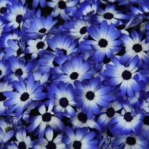 青いサイネリアの花。札幌百合が原公園・緑のセンター温室