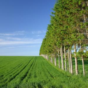 網走市の防風林と畑作風景(ビート畑)