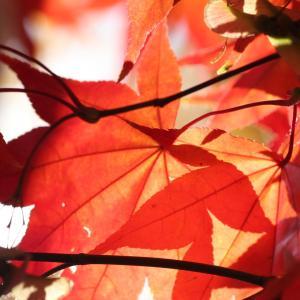 紅葉の葉が織り成すモザイク模様。札幌下手稲公園で撮影したヤマモミジの葉