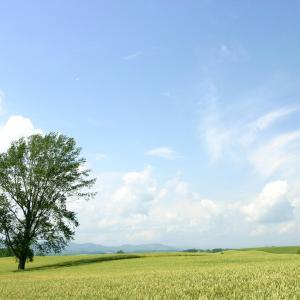 """失われた風景。美瑛町の人気スポットだった「哲学の木」 / """"Philosophy Tree"""" was a popular spot in Biei Town."""