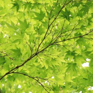 新緑のカエデの木のモザイク模様