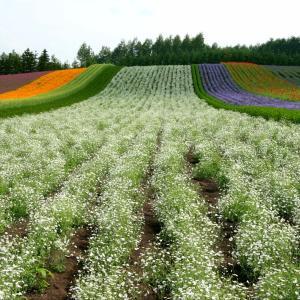 カラフル・ストライプ。中富良野町ファーム富田のお花畑