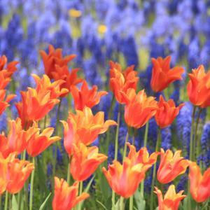 百合が原公園の春の彩り・チューリップとムスカリ