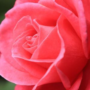 「ローズレッド」北大植物園で撮影した薔薇の花