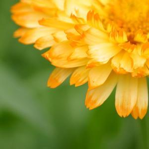 「キンセンカ」ゆりの郷こしみずリリーパークの金盞花の花