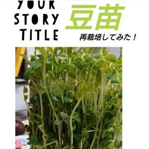 再生野菜お得な豆苗栽培で二度楽しむ