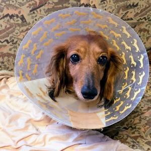 愛犬 ルカ の 手術