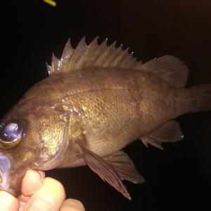 【和歌山】湯浅広港にてメバルが釣れました(2020年2月下旬)