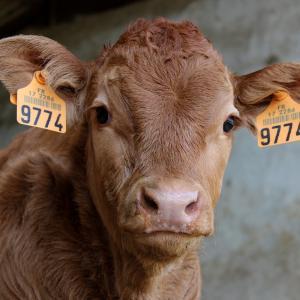 世界初!オランダで食肉税導入の兆し/動物の屠殺に課税を (Tax Animal Slaughter)