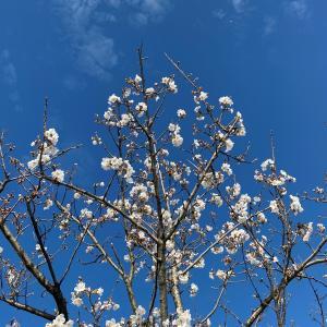【桜】花見は自粛だけど花を愛でる