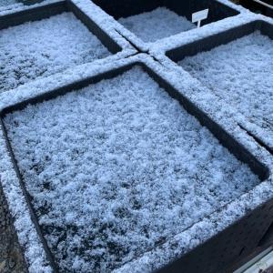今シーズン初雪【せらめだか】