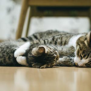 【多頭飼い】迎い入れ猫と先住ネコが仲良くするには?