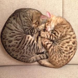 【猫の寝方に意味はある】腕まくら?上に乗る?枕を取られる?猫の気持ちはこんな感じ