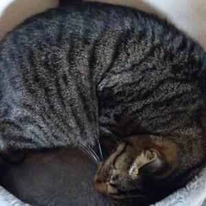 【猫の種類】キジトラ猫ってこんな性格