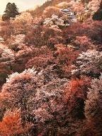 一生で一度は見てみたい!絶景3万本の3万本の吉野山の桜。山全体が世界遺産