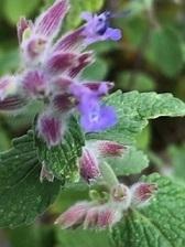 【キャットミント】の花が咲きました!カンタンに育つハーブのミントはおすすめです!