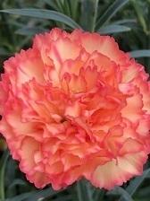 【カーネーション】から初めてみました。カンタン花が咲き続け、増やせます!