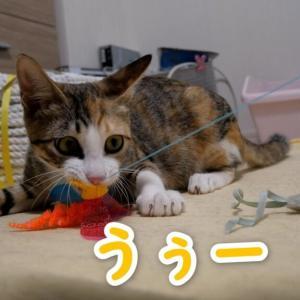 【保護猫】新しいおもちゃを独り占めする子猫のみっこ 更新しました