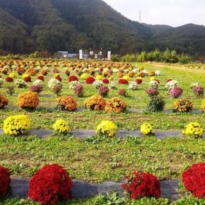 中荒井駅「ザル菊」    会津鉄道中荒井駅 下車 2019・11.3
